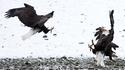 Fighting Bald Eagles 2