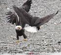 fighting Bald Eagles 3