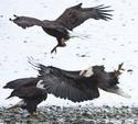 Fighting Bald Eagles 5