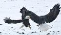 Fighting Bald Eagles 8