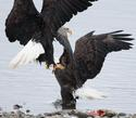 Fighting Bald Eagles 9