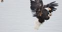 Fighting Bald Eagles 11