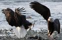 Fighting Bald Eagles 12