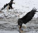 Fighting Bald Eagles 14